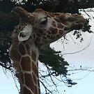 Giraffe  by Erin  Herlihy