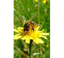 Totally Gorged! - Bee On Yellow Weed - NZ Photographic Print