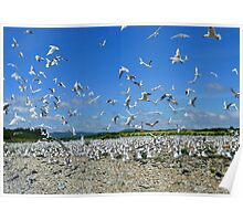 The Seagull Colony - River Bank - NZ  Poster