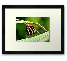I'm A Tiger.. I'm A Tiger! Orange Tiger Butterfly - NZ Framed Print