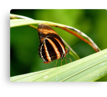 I'm A Tiger.. I'm A Tiger! Orange Tiger Butterfly - NZ Canvas Print