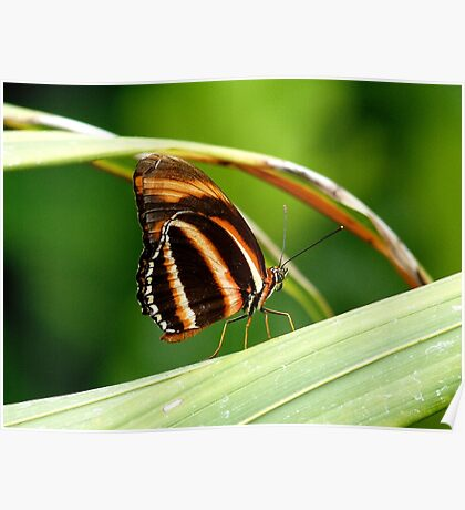 I'm A Tiger.. I'm A Tiger! Orange Tiger Butterfly - NZ Poster