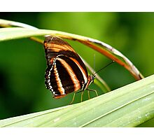 I'm A Tiger.. I'm A Tiger! Orange Tiger Butterfly - NZ Photographic Print
