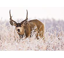 Mule Deer in Mid Chew Photographic Print