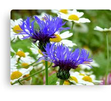 Passion Amongst The Daisies - Bachelor's Button - Southland NZ Canvas Print