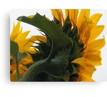 Sunflower the back of me Canvas Print