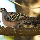 Common Bronzewing Pigeon by Wildpix