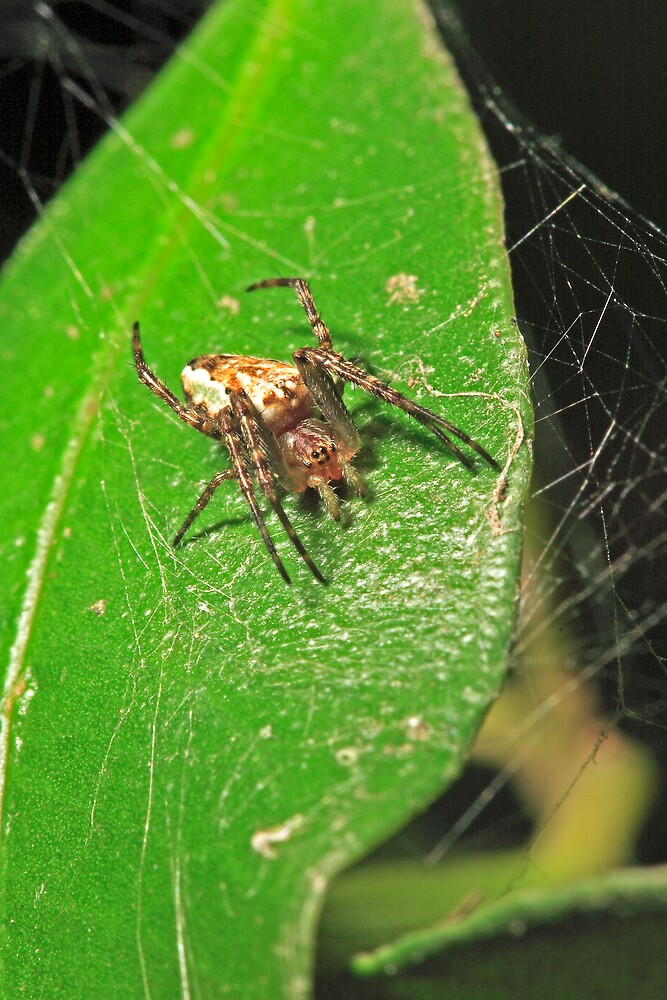 Spider (Jumping) by Colin  Ewington