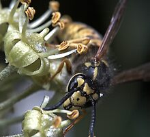 Wasp (European) by Colin  Ewington