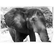 Head Shot of an African Elephant  Poster