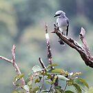 White bellied cuckoo-shrike by Sara Lamond