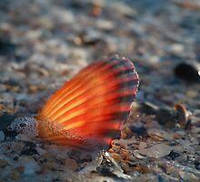 Fan Shell, Roches Beach, Tasmania by David Jamrozik