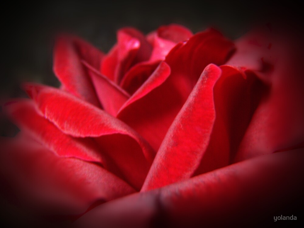A Perfect Rose by yolanda