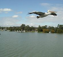 Pelican over Mannum by Paul Alderson