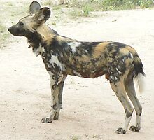 Southern African Wild Dog by AARDVARK