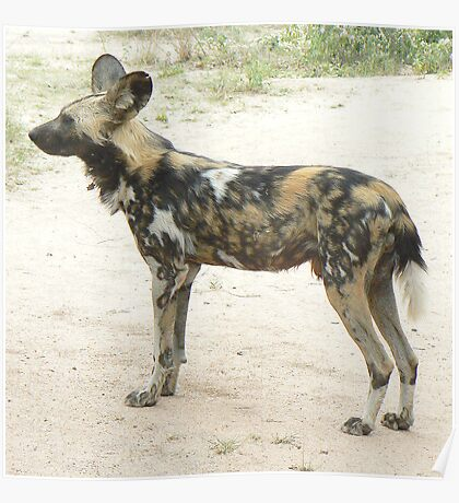 Southern African Wild Dog Poster