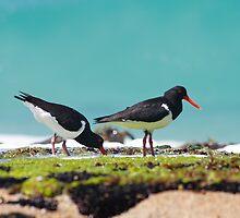 Pied Oyster Catchers, Friendly Beaches, Tasmania by David Jamrozik