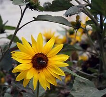 The sunflower by Christian  Zammit