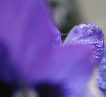 Abstract Pansy by julesart