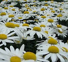 Field Of Daisies by Jessica  Marble