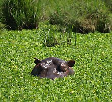 Hippopotamus hiding by David Odd