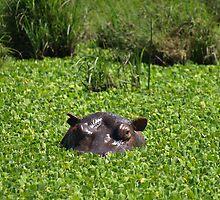 Hippopotamus hiding by David Odd