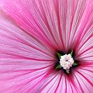 Pink Morning Glory by buddykfa