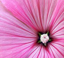 Pink Morning Glory by buddykfa