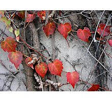 Up the Wall: The Ivy Hearts. Photographic Print