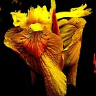 Frilled Yellow Lily by buddykfa