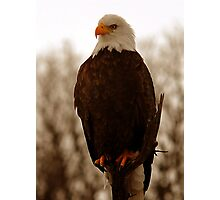 Bald Eagle - Warm Light Photographic Print