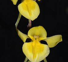 Diuris behrii by Colin12