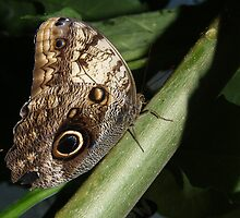 Owl Butterfly by Daveart