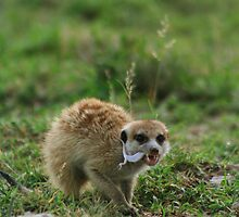Meerkat eating a barking gecko by FrankSolomon