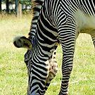 Zebra by flashcompact