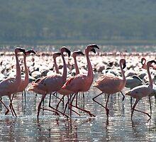 Flamingos at Lake Nakuru by David Odd