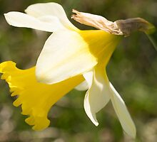 Daffodil Flower by Robert Carr