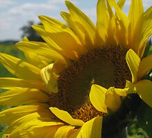 Sunflower by Lorale