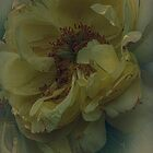 imperfect yellow rose by Nicole W.