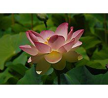 Lotus Lily Photographic Print