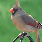 Female Cardinal by Linda Fields
