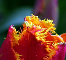 Skagit Valley Tulip Festival by Rick Lawler