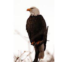 Bald Eagle - American Pride Photographic Print