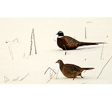 Pheasant Pair Photographic Print