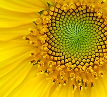 Sunflower by Brad Sauter