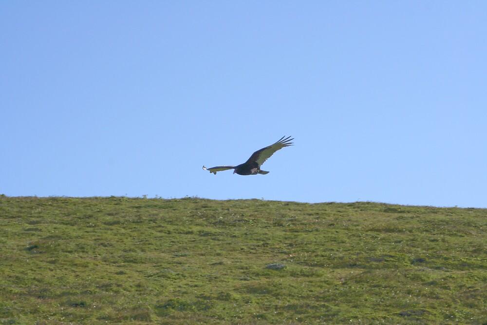 Turkey vulture by Chris Clarke