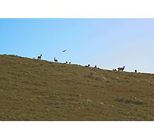 Tule Elk Photographic Print