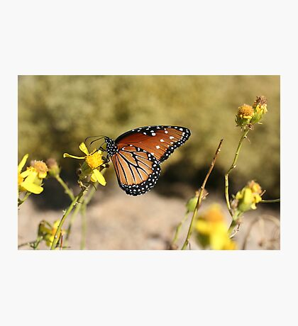 Queen Butterfly Photographic Print