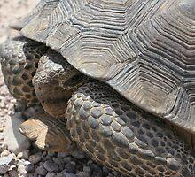 Nevada Tortoise by Chris Clarke