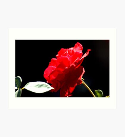 Favourite Red Rose Art Print